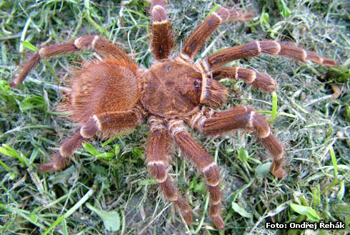 Acanthoscurria brocklehursti - male