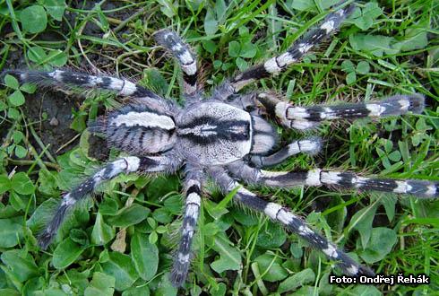 Poecilotheria regalis photo   tarantula care