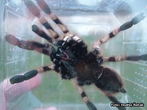 Poecilotheria formosa - male - adult - spodek