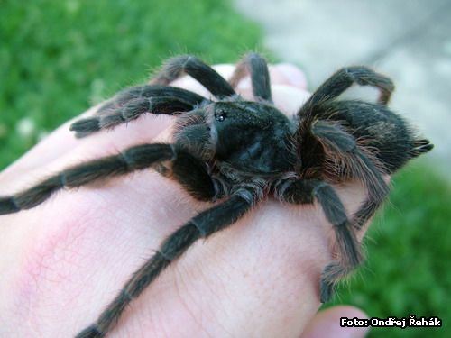 Grammostola alticeps - female-1 on hand :o)