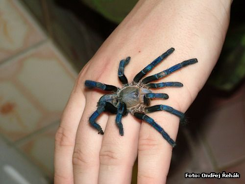 Haplopelma lividum - female on hand :o)