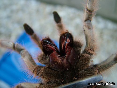 Aphonopelma chalcodes - Chelicery :o)