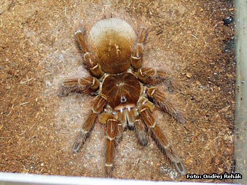 Theraphosa blondii photo | tarantula care