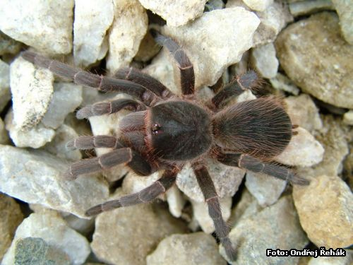 Acanthoscurria atrox - female 8.Fh (moult)