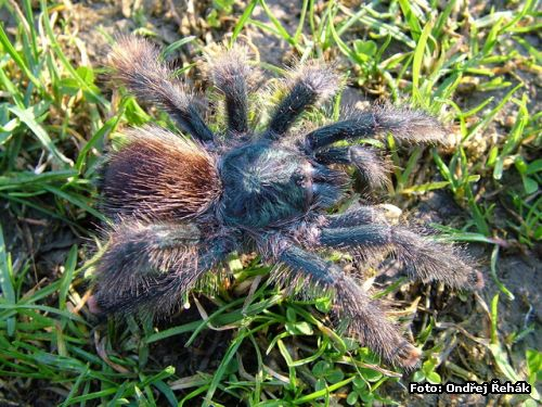 Avicularia spec Brazil 1 - female adult