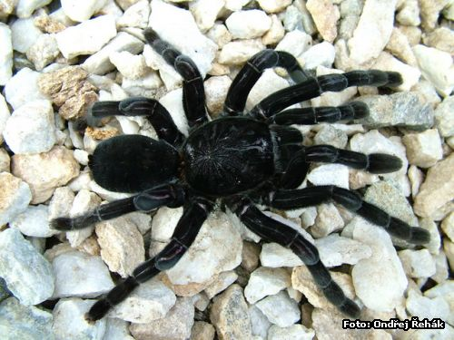 Lampropelma spec nigerrimum - female adult