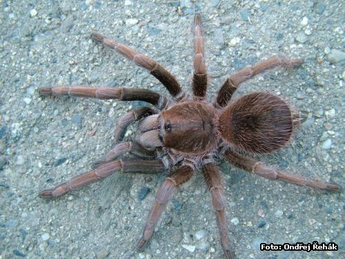 Acanthoscurria antillensis - Samice