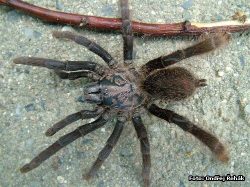 http://www.spidy.goliathus.com/foto/0606_Selenocosmia_peerboomi.jpg