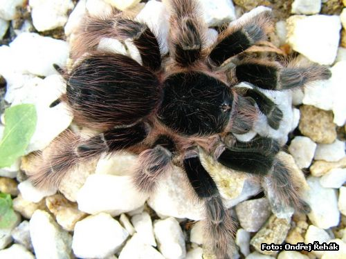 Acanthoscurria natalensis - Samice