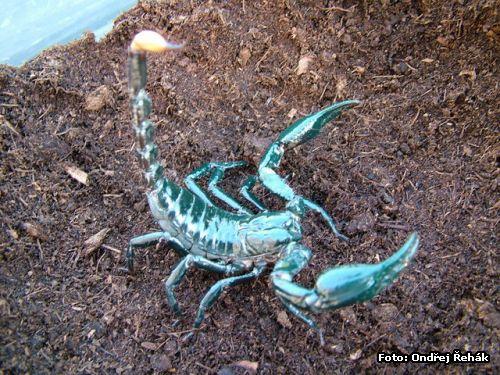 http://www.spidy.goliathus.com/foto/0611_Heterometrus_longimanus2.jpg