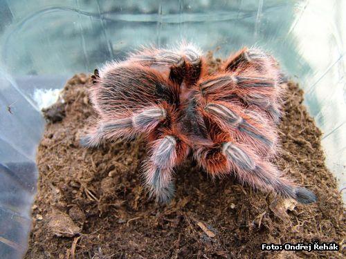 Grammostola rosea - red photo   tarantula care