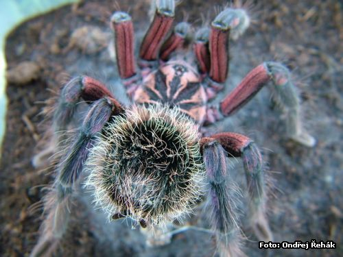 Xenesthis immanis - adult male