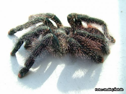 Avicularia spec Amazonas Purple - 0,1 - adult