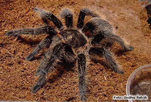 Brachypelma albopilosum photo   tarantula care