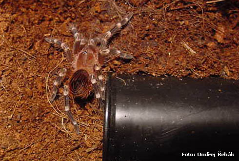 Acanthoscurria brocklehursti - spiderling 6.Fh (moult)