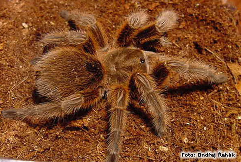 Grammostola spec. - female - g.rose -
