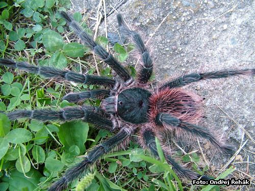Lasiodora klugii - male - adult