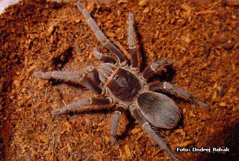 Acanthoscurria musculosa - Samice