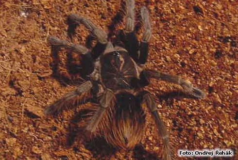 Pamphobeteus platyomma - 6.Fh (moult) female