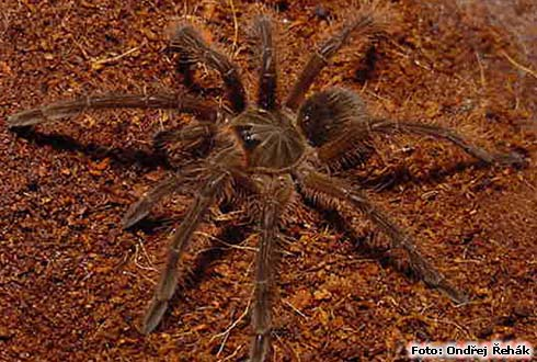 Theraphosa blondii - 5.moult female