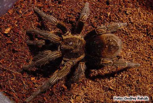 Thrixopelma pruriens photo | tarantula care