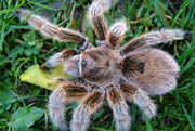 Grammostola rosea - Orange