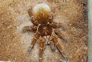 Theraphosa blondii