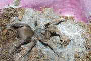 Tarantula spec India-1