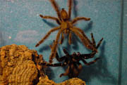 Gallery of mating tarantulas